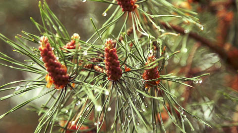 Few Pine Cones On The Fir Branch After The Rain stock footage