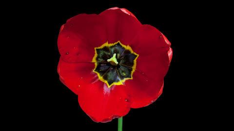 Red tulip flower blooming timelapse 4K Footage
