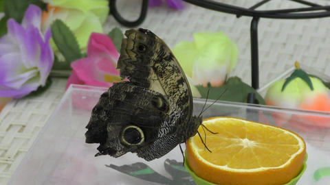 Butterfly have breakfast orange juice Footage