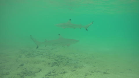 Baby Blacktip Reef Shark Hunting Fish In Shallow Sea Waters 영상물