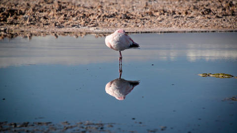 Flamingo in San Pedro, Chile Footage