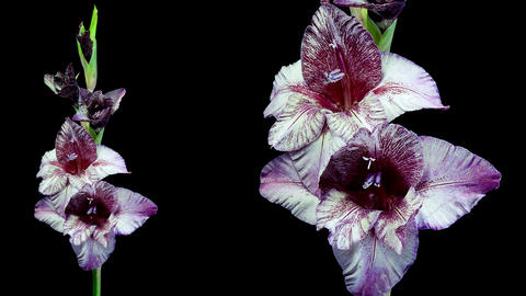 Dark red and white gladiolus flower blooming timelapse 4K Stock Video Footage