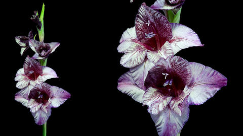 Dark red and white gladiolus flower blooming timelapse 4K Footage