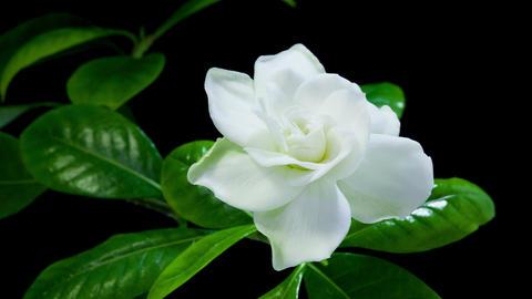 Gardenia flower blooming timelapse 4K Footage