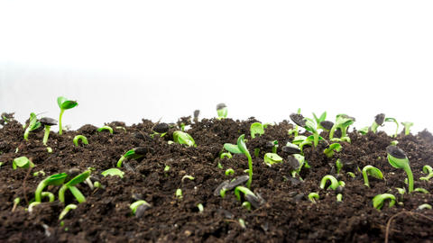 4K Plant Growth Timelapse, Closeup Of Green Grass Growing On White stock footage