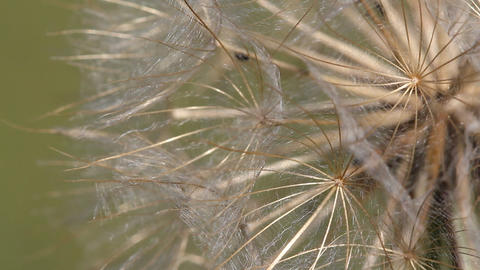 Dandelion Macro Detail Nature Background stock footage
