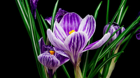 Violet crocus flower blooming and fading timelapse 4K Footage