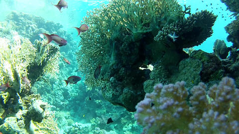 Exotic fishes. Coral flowers Live Action