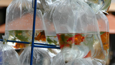 Close up from Gold fish in a plastic bags on the back of a motorbike in the stre Footage