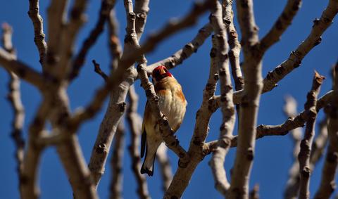 Beautiful bird, european goldfinch フォト