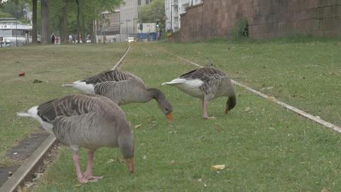 Ducks closeup eating near railroad ภาพวิดีโอ