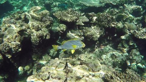 Oriental sweetlips. Plectorhinchus Vittatus. Island Of Maldives ビデオ