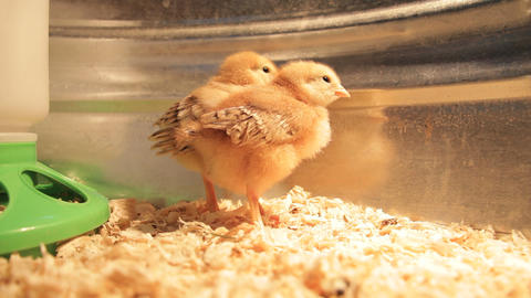 Chicks stock footage