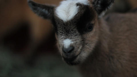 Baby pigmy goat portrait Stock Video Footage