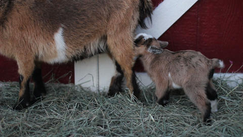 Baby pigmy goat hop Stock Video Footage