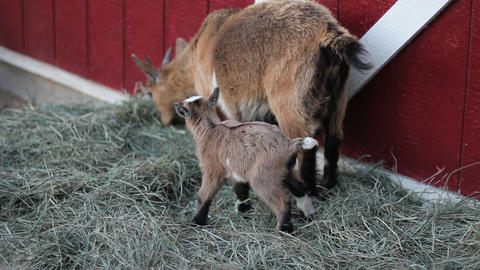 Baby pigmy goat 2 Stock Video Footage