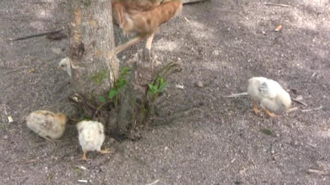 chick Stock Video Footage
