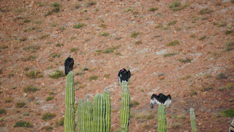 Three Turkey Vultures on Cactus Wings Out Stock Video Footage