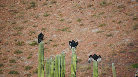 Three Turkey Vultures On Cactus Wings Out stock footage