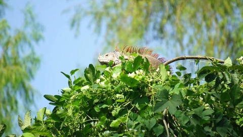 Iguana in a tree Stock Video Footage