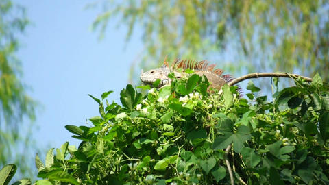 Iguana in a tree Footage