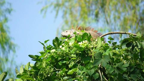 Iguana in a tree Footage