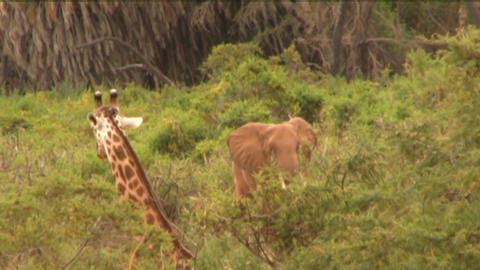 giraffe and elephants Stock Video Footage