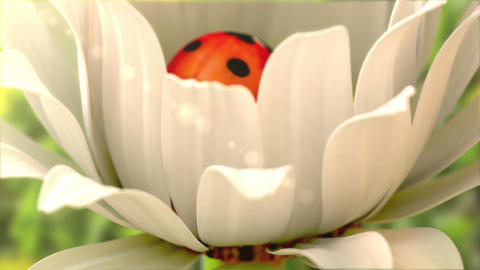Daisy flower with a ladybird Animation