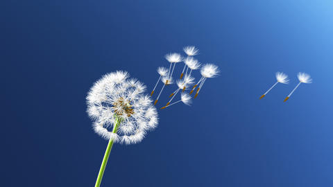 Dandelion Animation