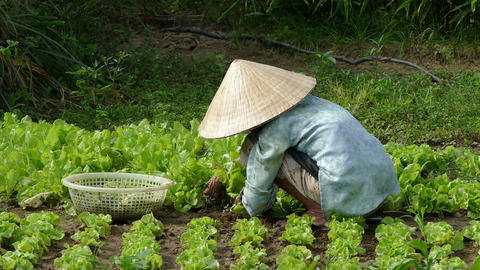 Elderly Vietnamese lady working at the farmland between the lettuce Footage