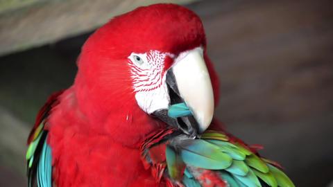 Preening Scarlet Macaw Footage