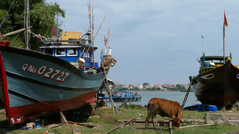 Shipyard with a cow and traditional fishing boats in Hoi An Footage