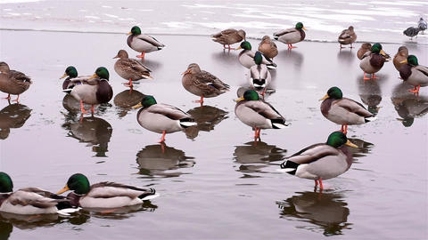 Ducks are located on the edge of the ice Footage