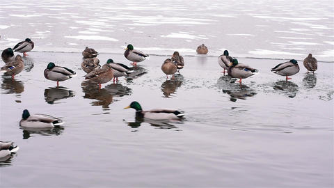 Ducks swim in a not completely frozen pond pond Footage