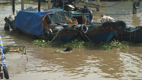 Dogs guarding boats Footage