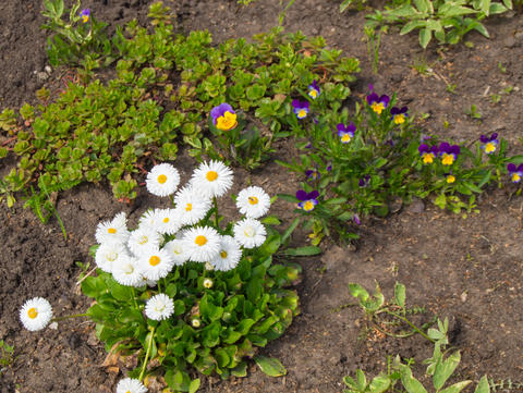 Pansies and daisies in the garden in the spring Photo