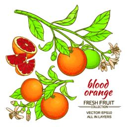 blood orange vector set Vector
