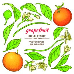 grapefruit elements set Vector