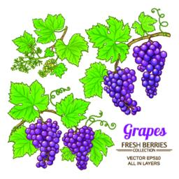 grapes vector set Vector