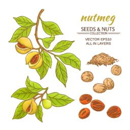 nutmeg vector set Vector