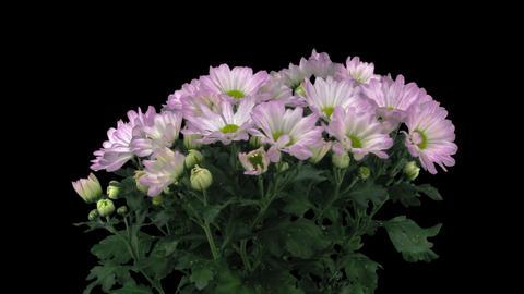 Time-lapse of opening pink chrysanthemum flower buds 1x3 (DCI-2K) Footage