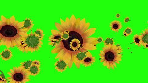 Sunflowers 4K loop by ACpixl Animation