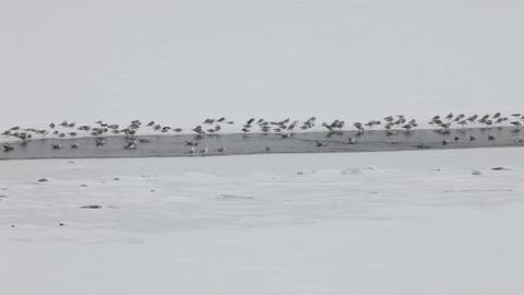 Flock of Seagulls on ice Footage