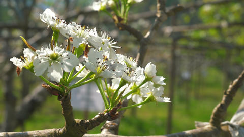 Apple flowers nature Archivo