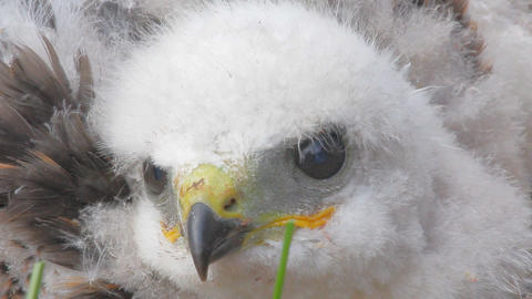 Look into the eyes of predator. Portrait of Rough-legged Buzzard chick closeup Footage
