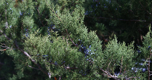 Juniper tree and berries up close Live Action