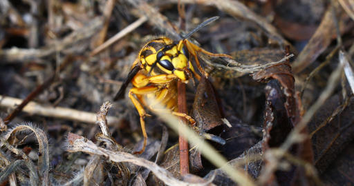 Yellow and Black Wasp macro video Live Action