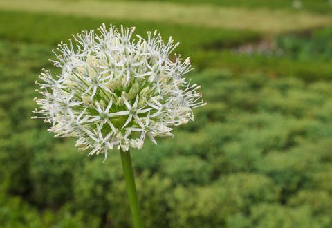 Ivory Queen flower Photo
