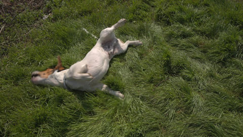 Jack Russell Terrier playing in the grass Footage