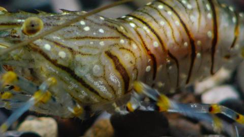 Nutrition of Prawn (Palaemon elegans), macro shoot Footage